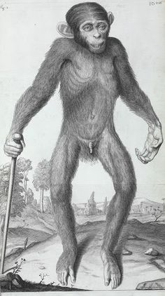 Illustration of a chimpanzee by William Cowper featured in Edward Tyson's  book, Orang-Outang, sive Homo Sylvestris or the Anatomy of a Pygmie  Compared with...