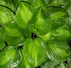 """Hosta 'Avocado'    (Diesen 1998)    Clump Size: (L) 48"""" x 24""""    Leaf Size: 11"""" x 9"""" -- Vein Pairs: 11 - 12    Description: Leaves are oval to heart-shaped with a chartreuse turning yellow center and a wide, medium green margin. The leaves are slightly shiny and it makes a beautiful clump.    Blooms: Lavender tinted, near white, fragrant flowers bloom in late July/early August.    Light: Part sun to full shade. -- Soil: Humus-rich, moist but well-drained soil.    Zones: 2 - 9"""