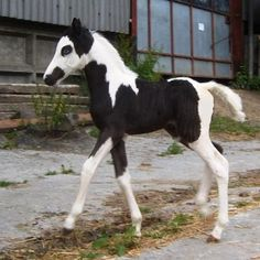 Foal with unusual markings ... a little like a skeleton, a little like Groucho Marks with a hairy mustache and eyebrows - photo from horseclicks