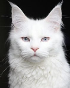Baby Animals, Cute Animals, Cat Towers, Cat With Blue Eyes, Cat Condo, Maine Coon Cats, White Cats, Cute Cats And Kittens, Warrior Cats