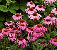 Echinacea purpurea Magnus - White Flower Farm