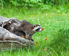 It's not just humans who love the smell of flowers, animals adore the scents too. Check out these 20 cute pictures of animals smelling flowers. Baby Raccoon, Cute Raccoon, Racoon, Baby Animals, Funny Animals, Cute Animals, Wild Animals, Funny Animal Pictures, Cute Pictures