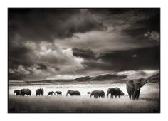 Elephant Herd, Serengeti 2001