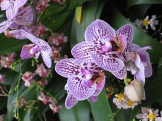 There are more than 60 varieties of moth orchid, each with its own distinct blossom style.