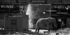 """""""Domestication""""  2014 Elephant, Animals, Photographs, Animales, Animaux, Photos, Elephants, Animal, Animais"""