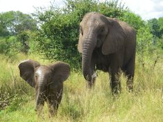 African elephant infant | by USFWS Headquarters