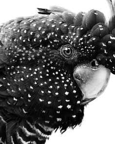 An original black and white print of an Australian black cockatoo. This magnificent wall art piece is perfect for the bedroom, nursery, home office or even dining room. This cheeky print is packed full of personality which is sure to bring a smile to your face! #decor #home #homedecor #nurserydecor #bedroomdecor #bedroom #birdart #photography #blackandwhite #prints #wallart #walldecor #blackcockatoo #art #scandinavian #minimalism #interiordecor Modern Prints, Modern Wall Art, Highland Cow Art, Wall Art Prints, Fine Art Prints, Scandinavian Art, Horse Print, Cockatoo, Minimalist Art