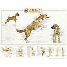 Canine Anatomy, Complete Set of 3 Charts. (Skeletal, muscular, internal organs).