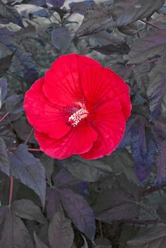 Midnight Marvel Mallow for sale buy Hibiscus 'Midnight Marvel' PPAF