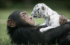 pictures of a chimpanzee playing with two white tiger cubs. The text claims that the cubs were separated from their tiger mother because of Hurricane Hannah and that the chimpanzee has become their surrogate parent. Unusual Animal Friendships, Unlikely Animal Friends, Unusual Animals, Animals Beautiful, Romantic Animals, Strange Animals, Beautiful Birds, Baby White Tiger, White Tiger Cubs