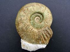 Discosphinctoides sp. (Fontannes 1876) uploaded in Upper Jurassic Ammonites from South Germany: 8cm. Lower Kimmeridgian. Upper Danube Valley.