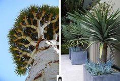 Dracena dragão, conheça esta e mais 25 plantas resistentes ao sol.