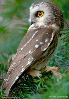 Amazing wildlife - Saw Whet Owl photo Beautiful Owl, Animals Beautiful, Cute Animals, Simply Beautiful, Owl Photos, Owl Pictures, Owl Bird, Pet Birds, Saw Whet Owl