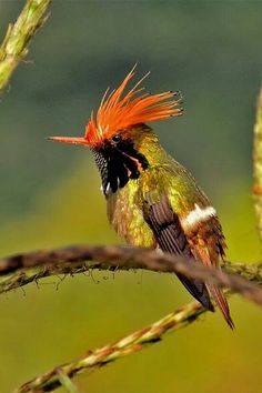 Rufous crested croquette