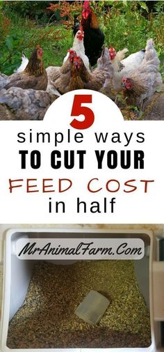 Cheap chicken feed is the holy grail of chicken farming. If you can raise healthy chickens that are happy and well fed AND do it cheaply, you are doing well. Here are our top 5 tips for cutting your chicken feed bill in half and living the cheap chicken feed dream. #raisingchickens