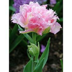 Hybrid Gladiola Gladiolus X Hortulanus Wine And Roses