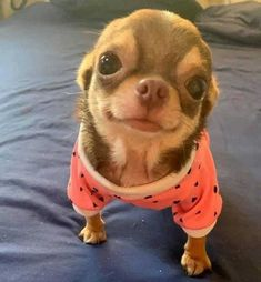 Effective Potty Training Chihuahua Consistency Is Key Ideas. Brilliant Potty Training Chihuahua Consistency Is Key Ideas. Cute Little Animals, Cute Funny Animals, Little Dogs, Funny Dogs, Cute Puppies, Cute Dogs, Chihuahua Love, Teacup Chihuahua Puppies, Funny Chihuahua