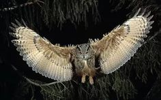 Download Flying Owl HD Wallpaper Full Size.