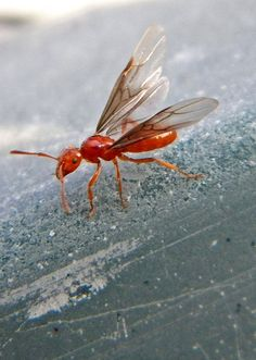 Flying Red Ant~cl