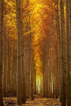 Autumn's Fire - This was taken up in Boardman OR at the tree farm.  This farm consists of thousands of hybrid Poplar trees.  A must see during the fall months.