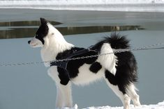 Dog Breeds - Types Of Dogs - American Kennel Club Rare Dog Breeds, Akc Breeds, Best Dog Breeds, Cute Puppies, Cute Dogs, Dogs And Puppies, Doggies, Laika Dog, Animals And Pets