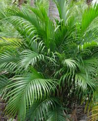 1000 images about houseplants on pinterest houseplant for Areca palm safe for cats
