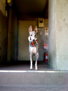 ~ Love Those Ears ~ yes this is a greyhound. My favorite type of dog ~ looks like an Italian greyhound