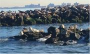 STATEN ISLAND, N.Y. — The NYPD posted several photos of seals basking off the waters of Staten Island on its Special Ops account on Monday. About a dozen of the mammals were spotted hanging out on Hoffman and Swinburne islands...