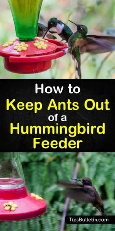 Find out how to keep ants out of hummingbird feeder with these simple tips and tricks. Learn how to get rid of ants easily and keep the hummingbirds happy. These simple techniques will also help keep ants out of the bird feeders in your backyard. Hummingbird Nectar, Hummingbird Plants, Hummingbird Feeder Food, Hummingbird House, Sugar Ants, Funny Bird, Get Rid Of Ants, Garden Insects, Garden Pests