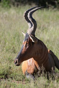 Topis (Damaliscus korrigum) are a highly social and fast antelope species of the genus Damaliscus.Photographed byWilly Brüchle.