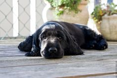 Puppy English cocker spaniel puppy Welpe 01 on FEI Black Cocker Spaniel Puppies, Blue Roan Cocker Spaniel, Cute Baby Puppies, Baby Dogs, Dogs And Puppies, Shiba Inu, Sprocker Spaniel, Spaniel Breeds, Cockerspaniel