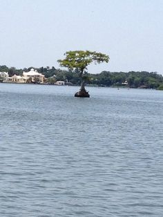 Cypress Tree in the middle of Lake Maitland in Winter Park,FL