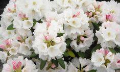 Rhododendron 'Nestucca', 'Nestucca' Rhododendron, 'Nestucca' Azalea, Evergreen Azalea, Midseason Azalea, White Azalea, White Rhododendron, White Flowering Shrub