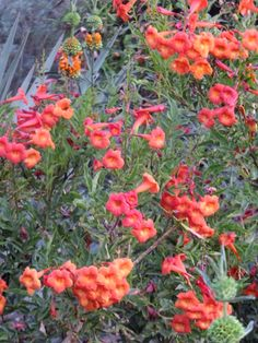 Bells of Fire-Tecoma hybrid-Desert Botanical Garden