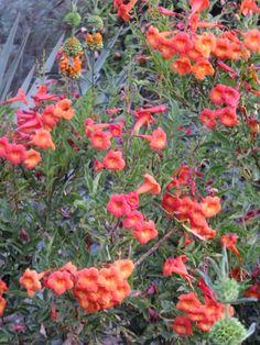 Bells of Fire-Tecoma hybrid-Desert Botanical Garden