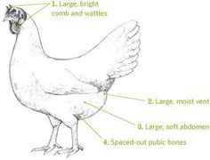 how to tell if a hen is laying