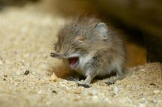 Baby Short-Eared Elephant shrew. This little guy is 1 of 31 endangered species born at the National Zoo and Conservation Biology Institute in recent weeks.