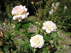 Rose appartenenti al roseto dell'Orto Botanico di Pavia istituito da Raffaele Ciferri. S uddiviso in tre grandi aree: un folto gruppo di rose selvatiche, raccolte nelle aiuole marginali; le rose antiche, collocate in modo da evidenziare i legami con le sezioni precedenti; gli ibridi moderni nelle aiuole centrali.