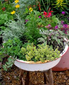 Herb garden in an old enamel pan.