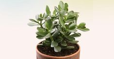 """The jade plant is considered very auspicious. The Jade plant is a good luck symbol for money. It is also known as """"Money plant"""", """"Dollar plant"""" and """"Friendship plant"""". Houseplants Safe For Cats, Cat Safe Plants, Crassula Ovata, Propagating Succulents, Planting Succulents, Jade Plant Care, Feng Shui Plants, Le Jade, Formal Gardens"""