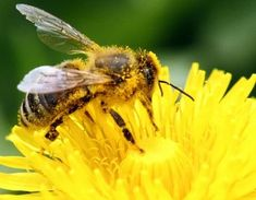 ​'Bees with Alzheimer's?' Aluminium pollution linked to dementia in bees How To Kill Bees, Us Department Of Agriculture, Bee Friendly, Plant Nursery, Air Pollution, Bee Keeping, Yellow Flowers, Gardening Tips, Container Gardening