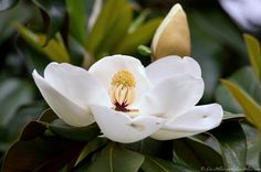 Southern Magnolia  by Lee Hiller #Photography #Nature #Flowers #HikeOurPlanet