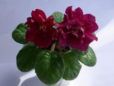 gloxinias african violets -