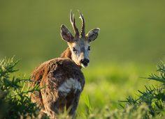Roe deer http://petsworld99.blogspot.com/2017/11/roe-deer.html