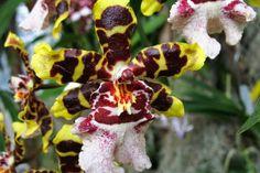 Orquídea tigre (Odontoglossum)