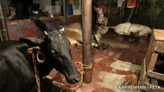 """Singer and animal rights activist Leona Lewis narrates a shocking PETA video exposé of Bangladesh's billion-dollar leather industry, which reveals who really pays the highest price for """"affordable"""" leather: animals and workers, including children."""