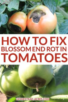 How to prevent and fix blossom end rot in your tomatoes. Frustrated that your beautiful tomatoes are turning black on the bottom? Don't worry you can used these simple steps to turn your plants around and still get a good harvest of tomatoes. Vertical Vegetable Gardens, Vegetable Garden Tips, Veg Garden, Tomato Garden, Veggie Gardens, Garden Beds, Potager Garden, Outdoor Gardens, Fall Vegetables