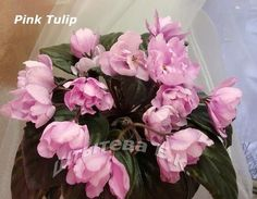 african violet pink Tulip - Google Search