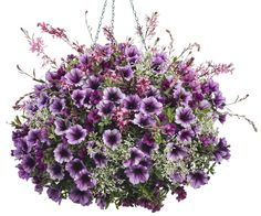 Hanging Basket 'Pixie Sticks' featuring: Petunia 'Supertunia Bordeaux', Calibrachoa 'Superbells Plum', Euphorbia 'Diamond Frost' and Butterfly Flower 'Stratosphere Pink Picotee' Hanging Flower Baskets, Hanging Pots, Flower Planters, Flower Pots, Container Flowers, Container Plants, Container Gardening, Butterfly Flowers, Summer Flowers