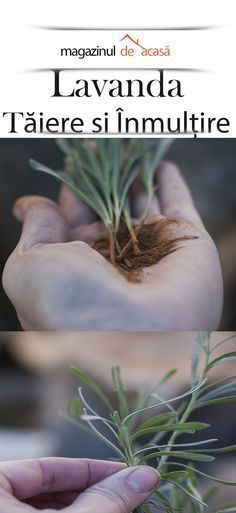 Transforma un lastar de lavanda, intr-un ghiveci cu planta adulta Organic Gardening, Gardening Tips, Gardening Services, Gardening Gloves, Garden Terrarium, Colorful Plants, Backyard Lighting, Annual Flowers, Climbing Roses